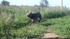 american pitbull terrier blue chief 4 yrs xl blue american pit bull terrier youtube