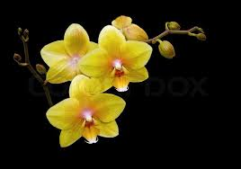 yellow orchid flowers yellow orchids on a black background up stock