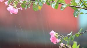 Flower Pictures 1080p Hd Rain And Flower Video Background Youtube