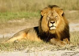 cecil lion research scientists studied lion