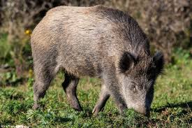 Hawaii Wild Animals images Maui fauna of the month feral pig jpg