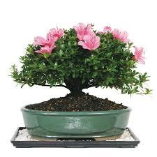 non flowering bonsai indoor plants garden plants u0026 flowers