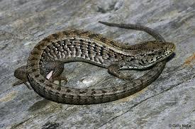 Backyard Reptiles California Lizards Photo Index