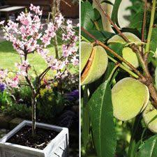 almond tree search ornamental fruit trees 1