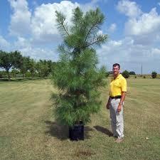 glen flora farms wholesale trees trees pine loblolly