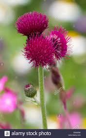 pink flowers of the ornamental thistle cirsium rivulare stock