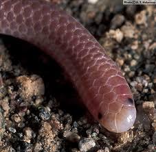 Plains Blind Snake Leptotyphlops Humilis Desert Blind Snake Discover Life