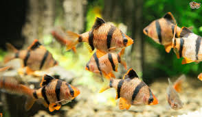 the behaviour of pet fish decoded pets4homes