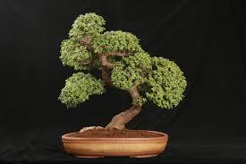 jade bonsai trees