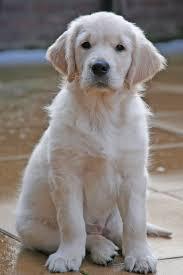 golden retriever dog askideas com