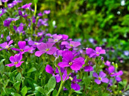 wall flowers how to grow and care for wallflowers the garden