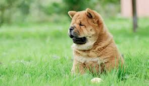 fu dogs for sale foo dog information dog breeds at dogthelove