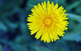 colors close to yellow free images nature dandelion flower petal bouquet spring