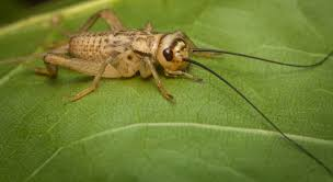 are crickets harmful terminix
