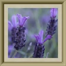 Most Fragrant Lavender Plant - 62 best fragrant flowers trees and bushes images on pinterest