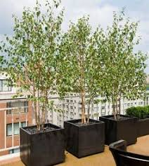silver birch tree in pot search pinteres
