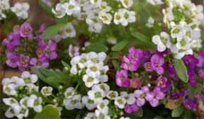 alyssum flowers tips on growing hardy alyssum flowers sweet
