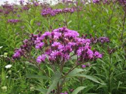 new york native plants vernonia noveboracensis new york ironweed facw similar in form