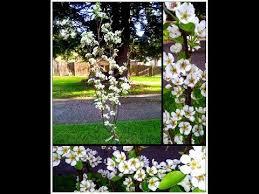 Trees Backyard How To Plant Dwarf Fruit Trees Backyard Garden Mini Orchard Youtube