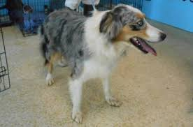 australian shepherd quirks lady cordon bleu adopted the dog liberator