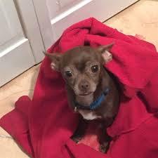 affenpinscher in orlando fl lost dog chihuahua miami fl united states lost dogs