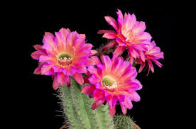 flower blooming time lapse video shows beautiful cactus flowers blooming time
