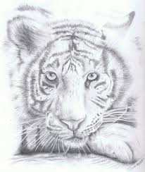 drawing of a white tiger white tiger sketch drawing images