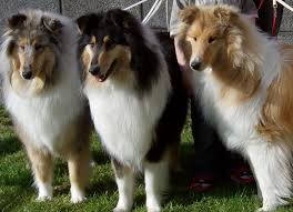 bearded collie mdr1 200 best the stunning rough lassie collie images on pinterest