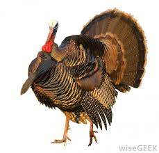 why do we eat turkey on thanksgiving with pictures