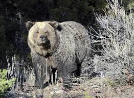 Bears Montana Hunting And Fishing - hunting grizzly bears agencies to lay groundwork for state hunts