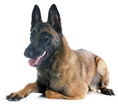 belgian sheepdog guard dog dog information archives