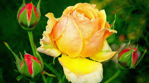 Bestyellow by Best Yellow Rose Hd Wallpaper Youtube