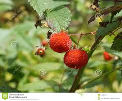 queensland native plants australian native raspberry stock photo image 64343171