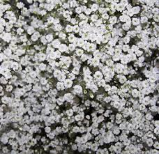 babys breath babys breath more flowers filler flowers babys breath