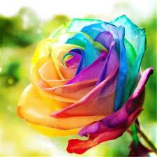Multi Colored Roses Best 25 Rainbow Roses Ideas On Pinterest Rainbow Flowers