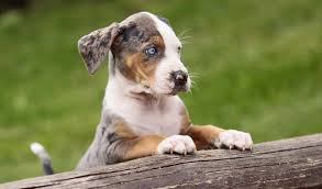 c c australian shepherds louisiana 129 best catahoula leopard dogs images on pinterest leopard dog