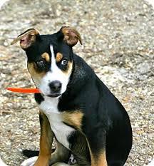 australian shepherd puppies rescue thor adopted puppy stow me australian shepherd american pit