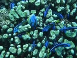 masna palette surgeonfish