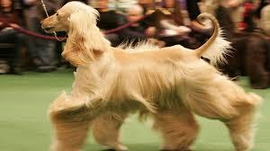 afghan hound dog images sighthound afghan hound dogs ginger color animals 1920x1080