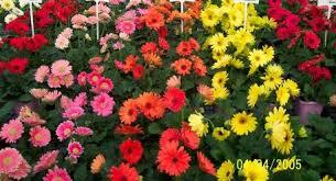 ky garden flowers gaillardia to gypsophila