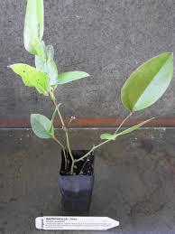 australis plants australian native plants native sarsaparilla plant smilax australis all rare herbs