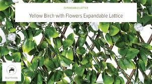 expandable yellow birch w flowers lattice natrahedge