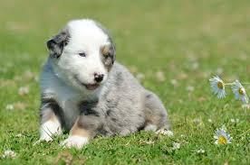 australian shepherd 2016 calendar australian stumpy tail cattle dog wallpapers hd download