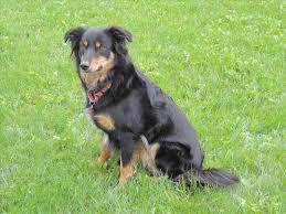 australian shepherd mix breeds tibetan mastiff australian shepherd mix dog and cat