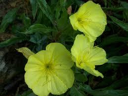 native missouri plants nebraska native plants grimm u0027s gardens