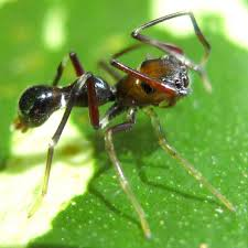 trapped in nature u0026 exploration an ant spider agorius spider of
