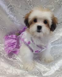 shi poo shih poo puppy boca raton shih poo puppy for sale