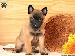 belgian malinois puppies for sale 2016 axel belgian malinois puppy for sale in pennsylvania