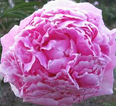 peonies for sale pink peonies for sale available july thru september