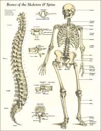 Body Anatomy Back Images Of A Human Back Skeleton With Labelled Bones Human Body